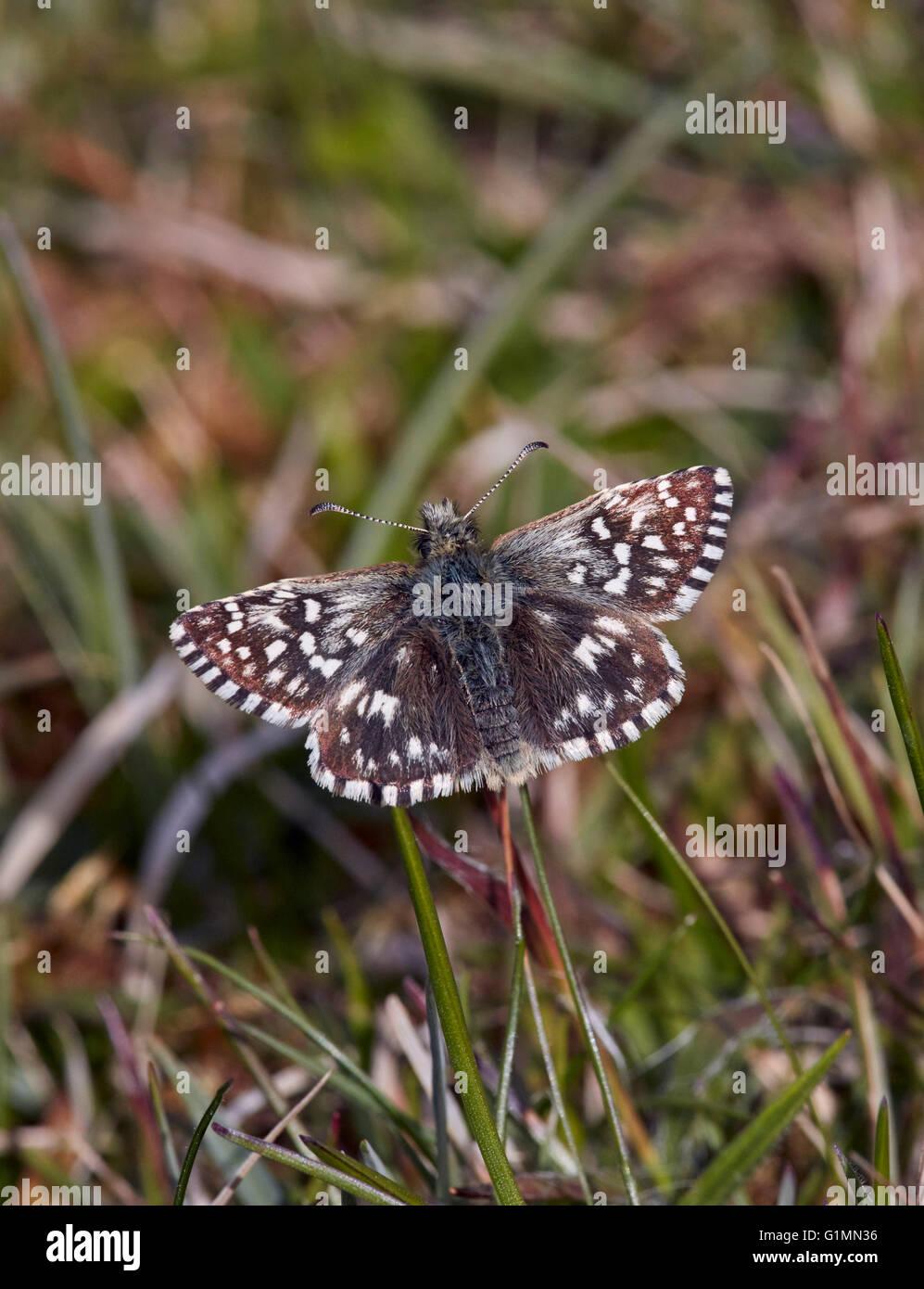 Skipper brizzolato butterfly. Sussex, Inghilterra. Immagini Stock