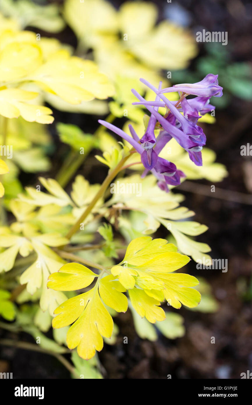 Fiori lilla contrasto con la chioma dorata del bosco perenne, Corydalis 'Berry emozionante' Immagini Stock