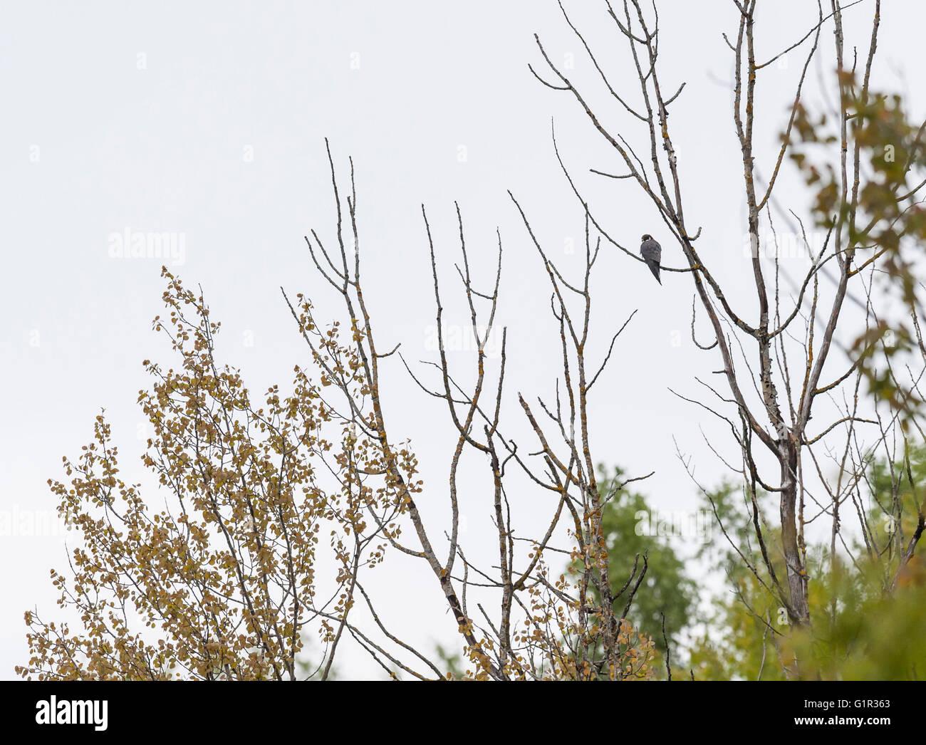 Eurasian Hobby, Svezia (Falco Subbuteo®) Immagini Stock