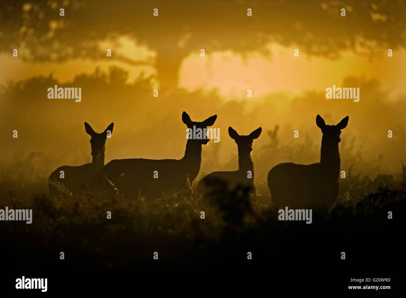 Red Deer Cervus elaphus all'alba Richmond Park London Settembre Immagini Stock