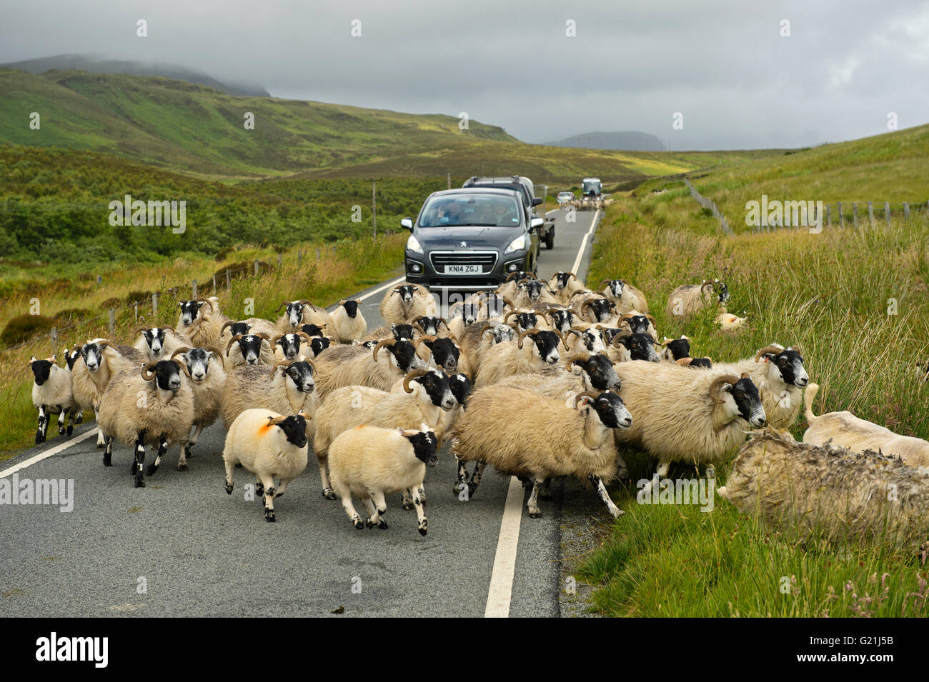 Allevamento di Scottish Blackface pecore bloccando il traffico su strette strade di campagna, Isola di Skye, Scotland, Immagini Stock