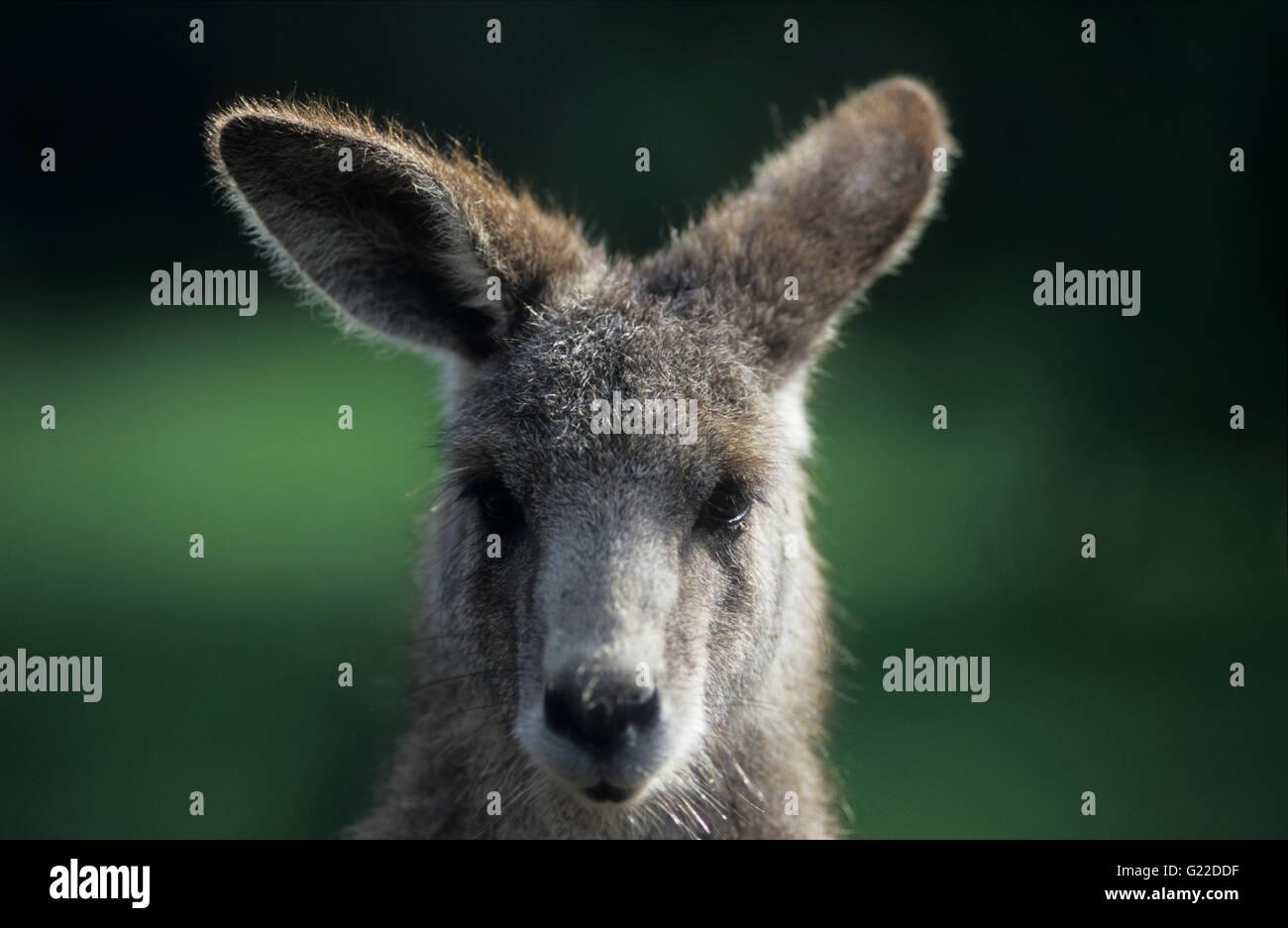 Ritratto di un Orientale Canguro grigio (Macropus giganteus) presso lo Zoo di Perth. Immagini Stock