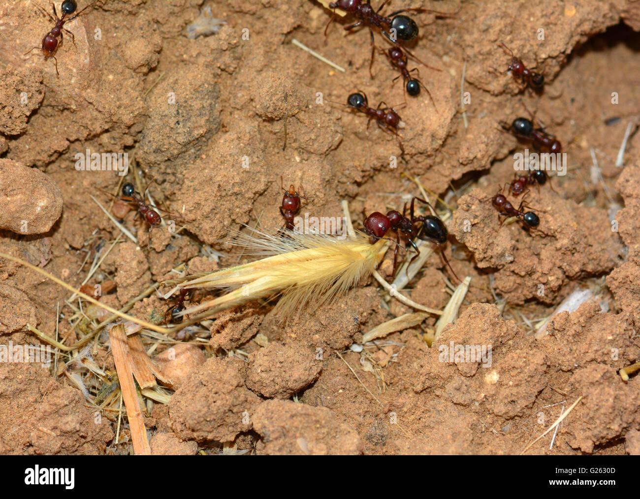 Ant raccogliere cibo Immagini Stock