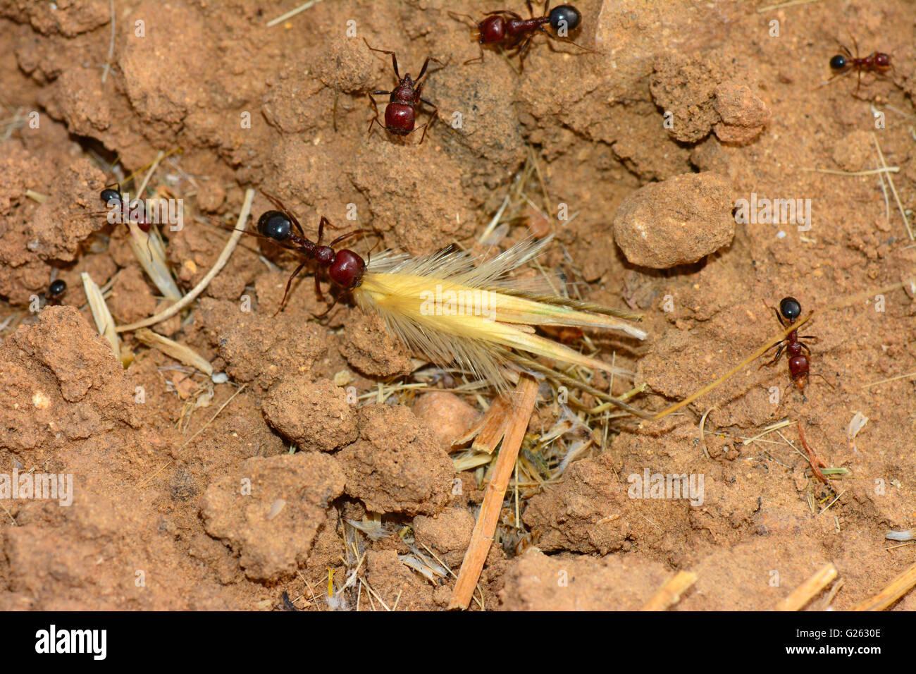 Le formiche raccogliere cibo Immagini Stock