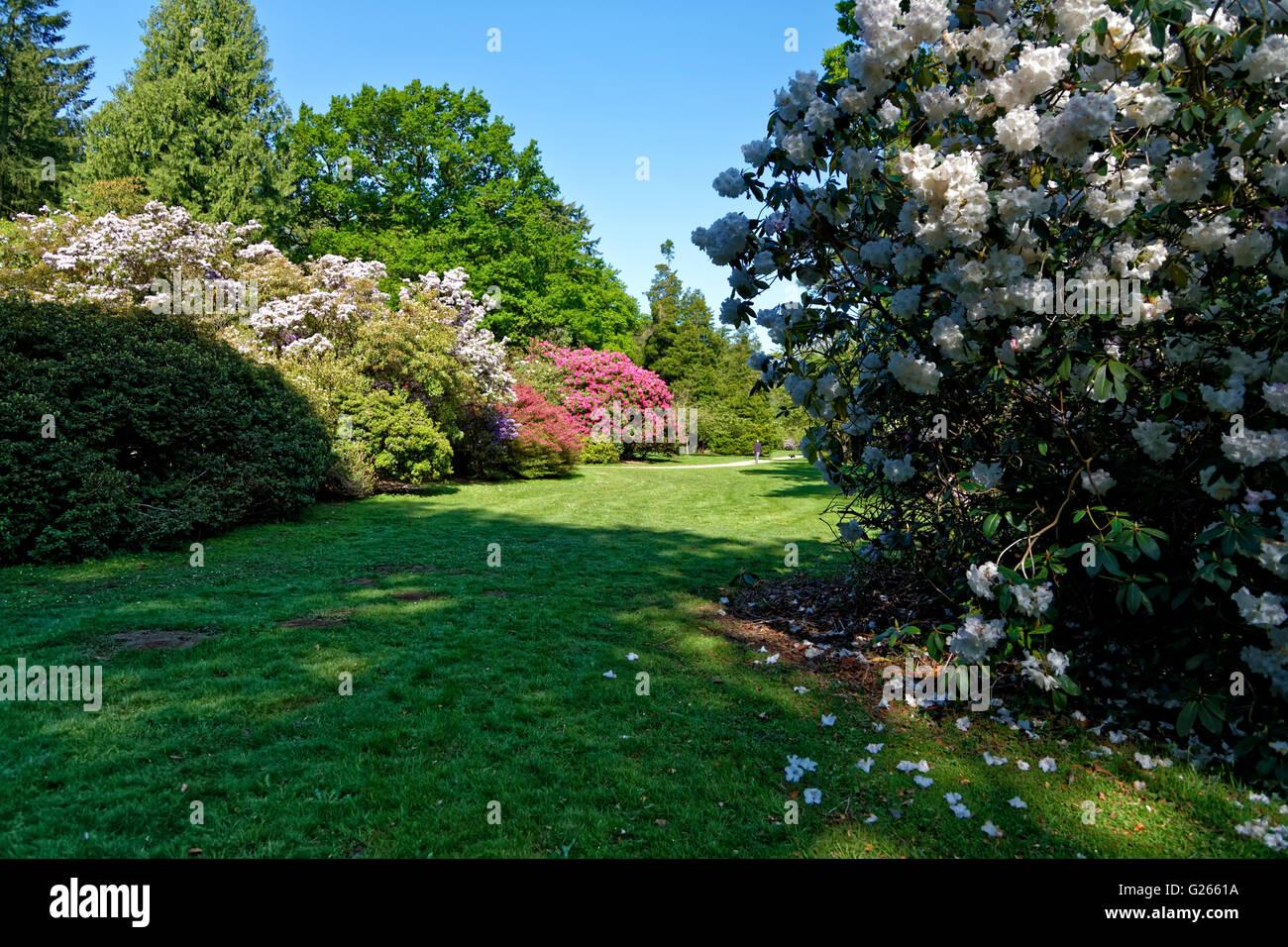 Heaven's Gate, Longleat, Wiltshire, Regno Unito. 24 maggio 2016. rododendri e azalee in fiore a Heaven's Immagini Stock