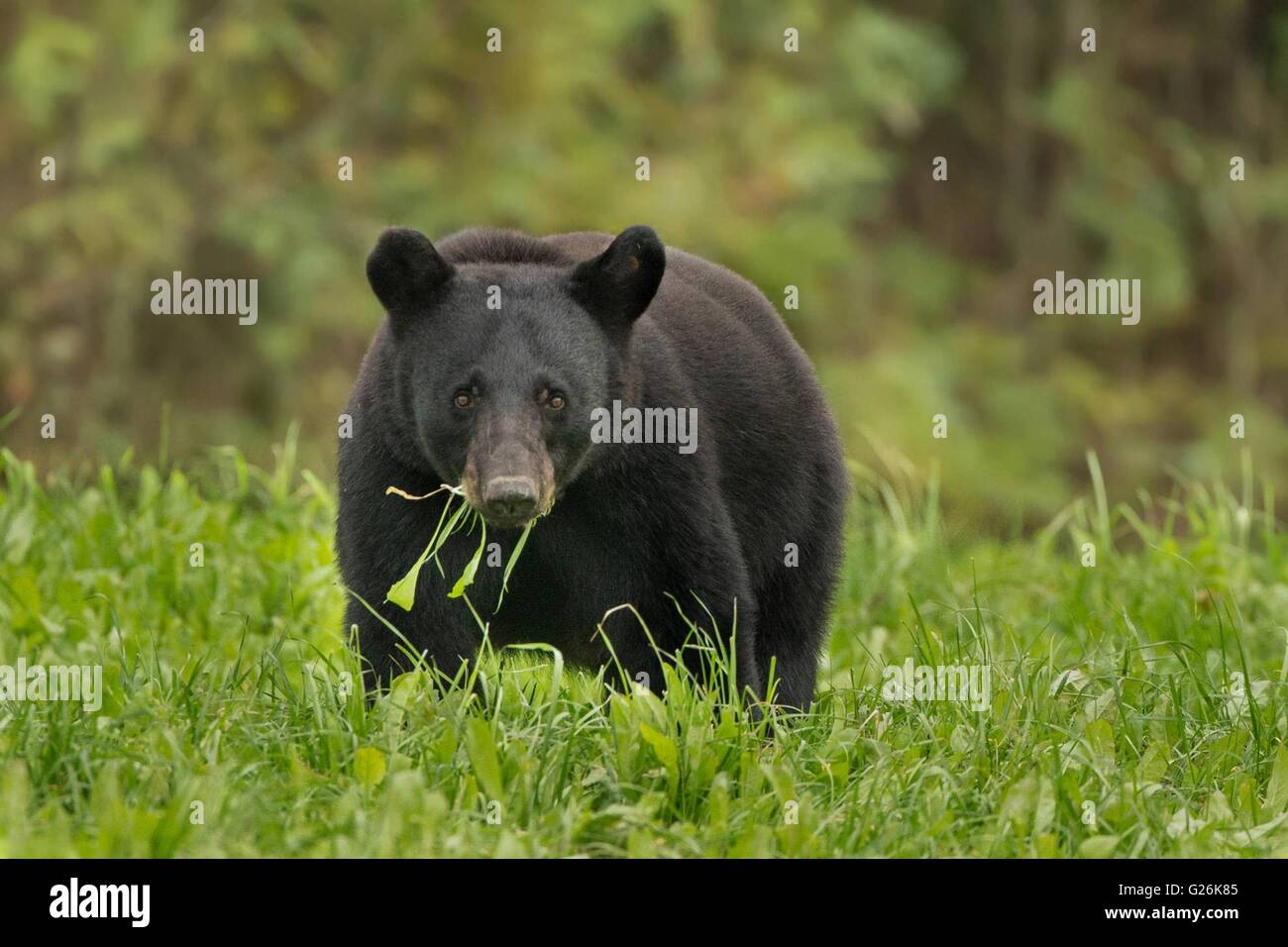 Un Louisiana black bear foraggi sull isola di Avery in Louisiana. Foto Stock