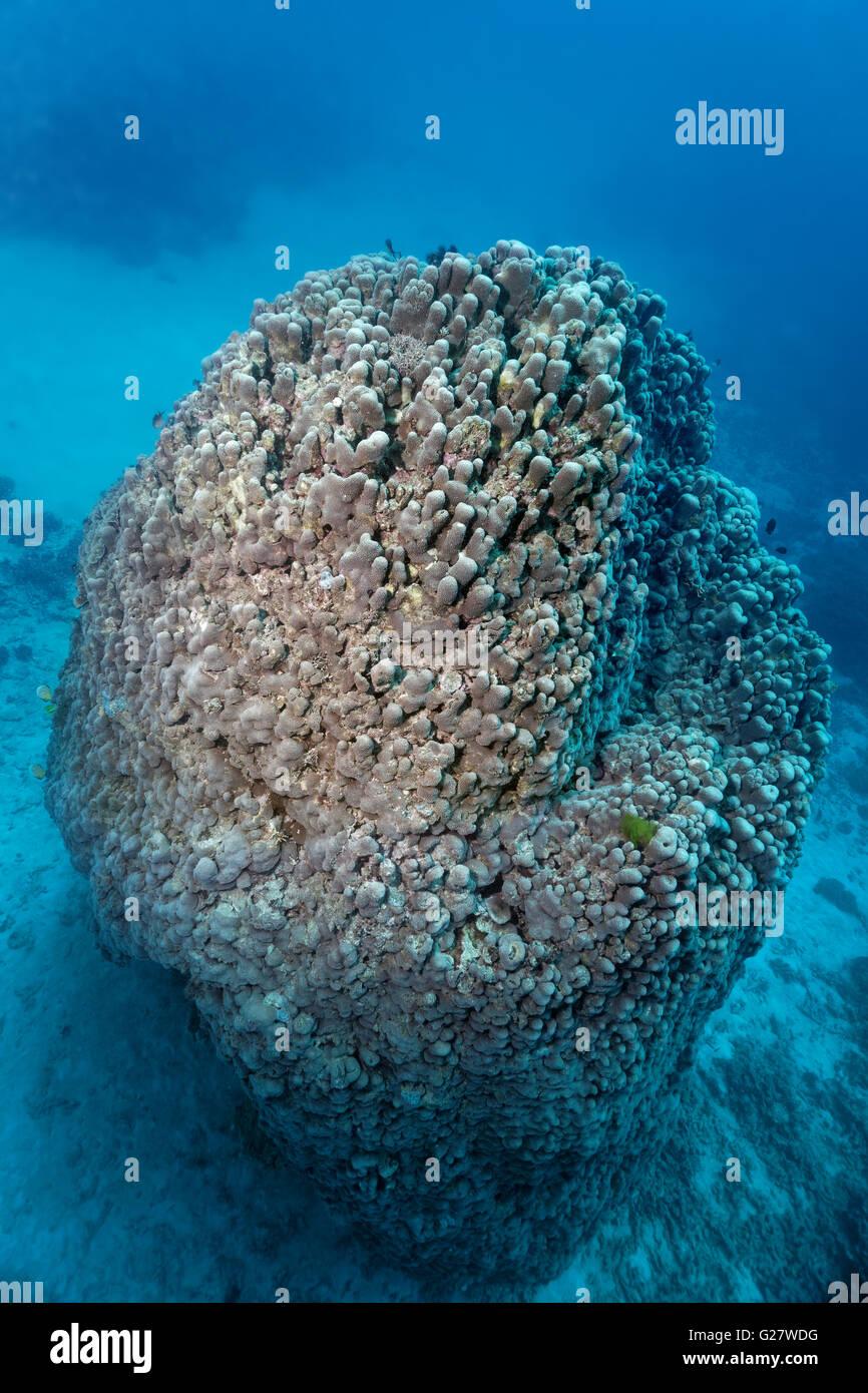 Grande coralli duri (Goniopora pearsoni), la Grande Barriera Corallina, Queensland, Cairns, Oceano Pacifico, Australia Immagini Stock