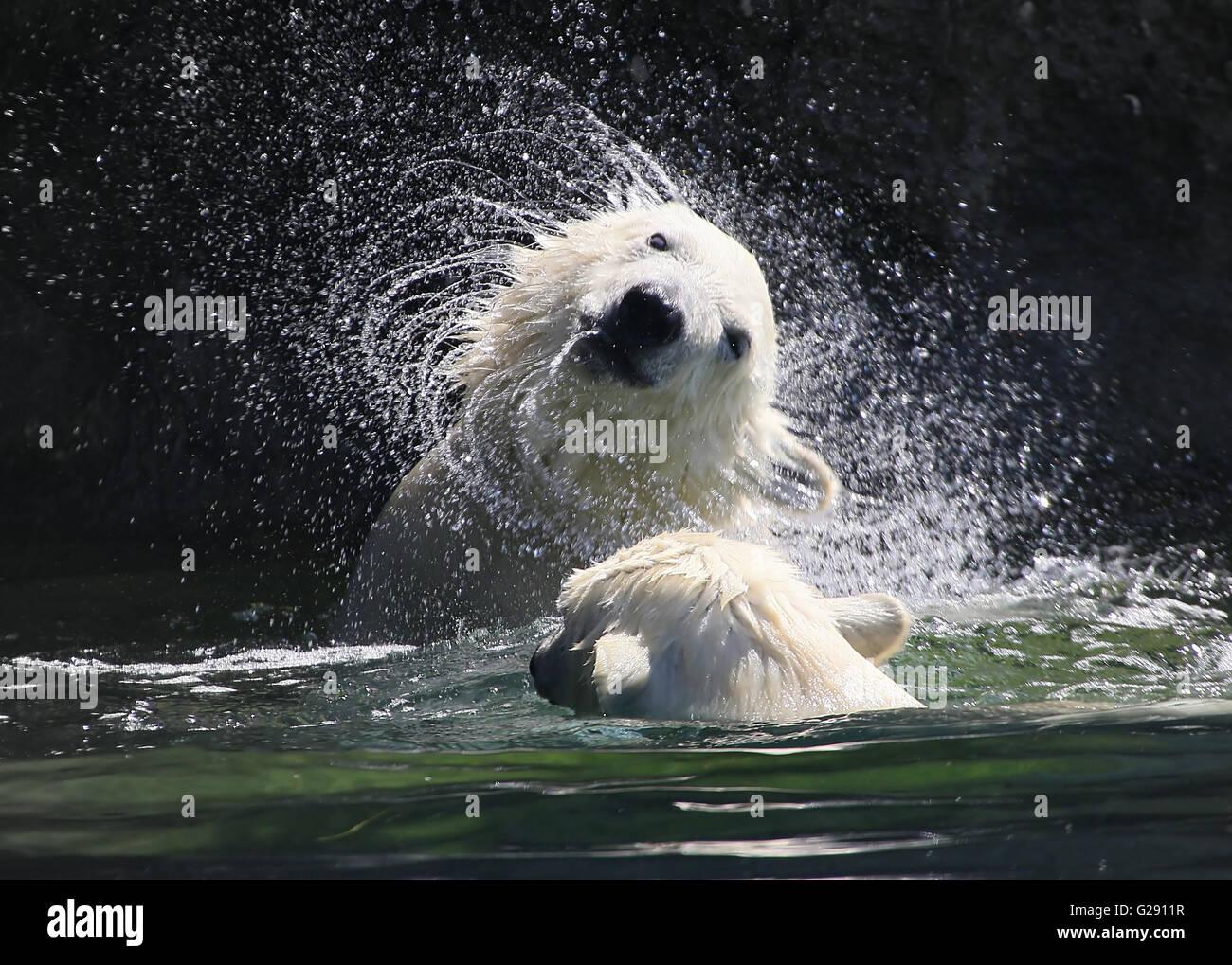 Polar Bear Cub (Ursus maritimus) scuotere l'acqua in eccesso dalla sua pelliccia, creando un vortice di goccioline Immagini Stock
