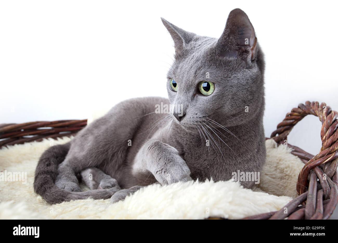 Elegante Russisch Blau Rassekatze auf Lammfell Immagini Stock