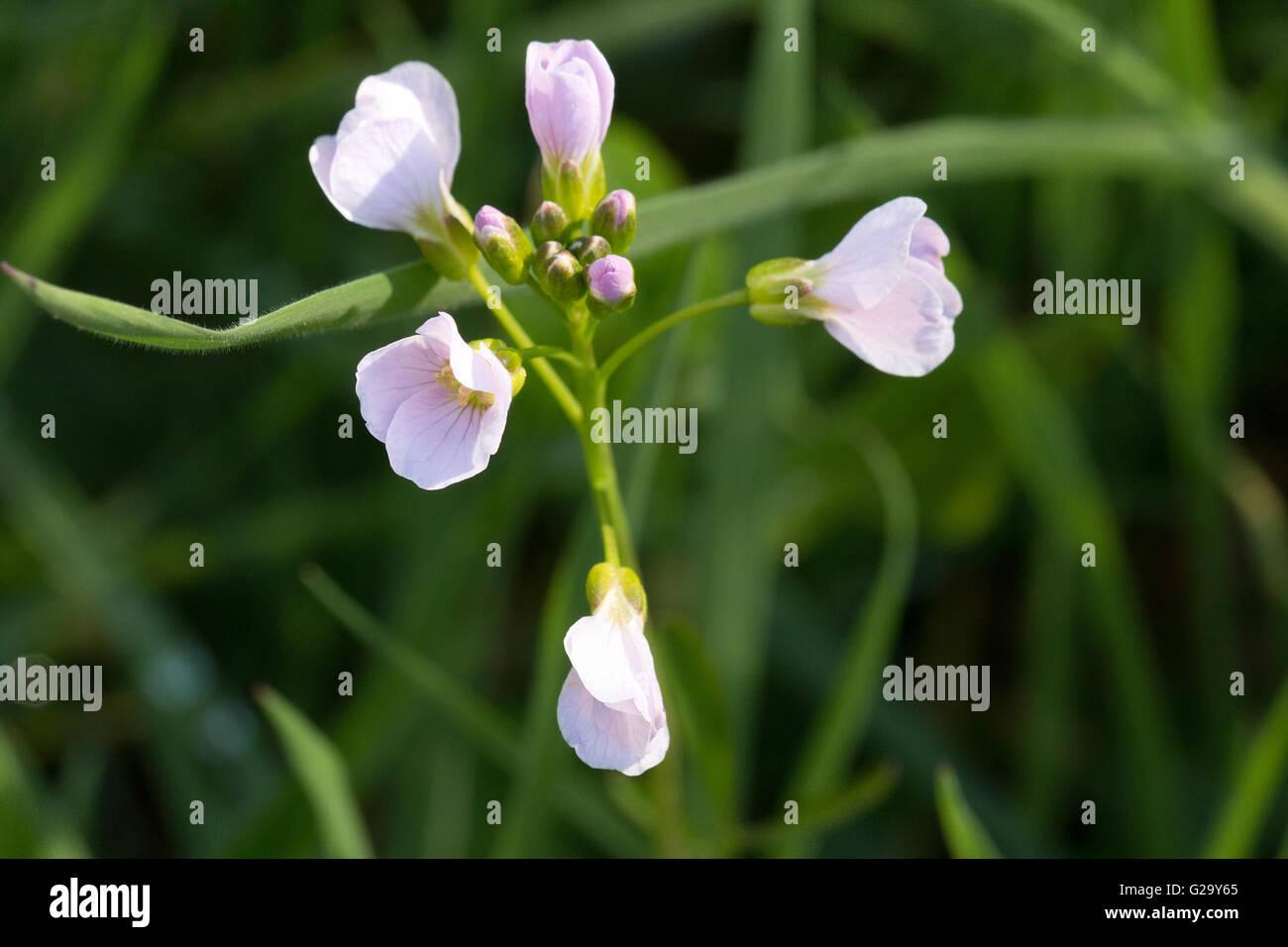 Wiesen Schaumkraut mit Blüten und Knospen Limnanthes seme con fiori e boccioli Immagini Stock