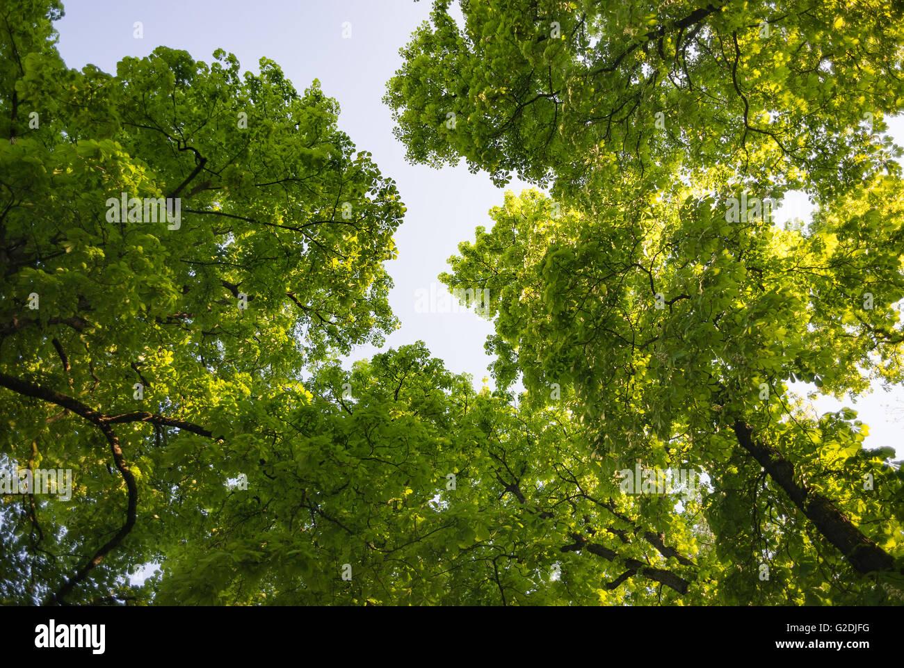 Ippocastano castagno treetop visto da sotto vista sun bright foglie verdi foglie majestic Immagini Stock