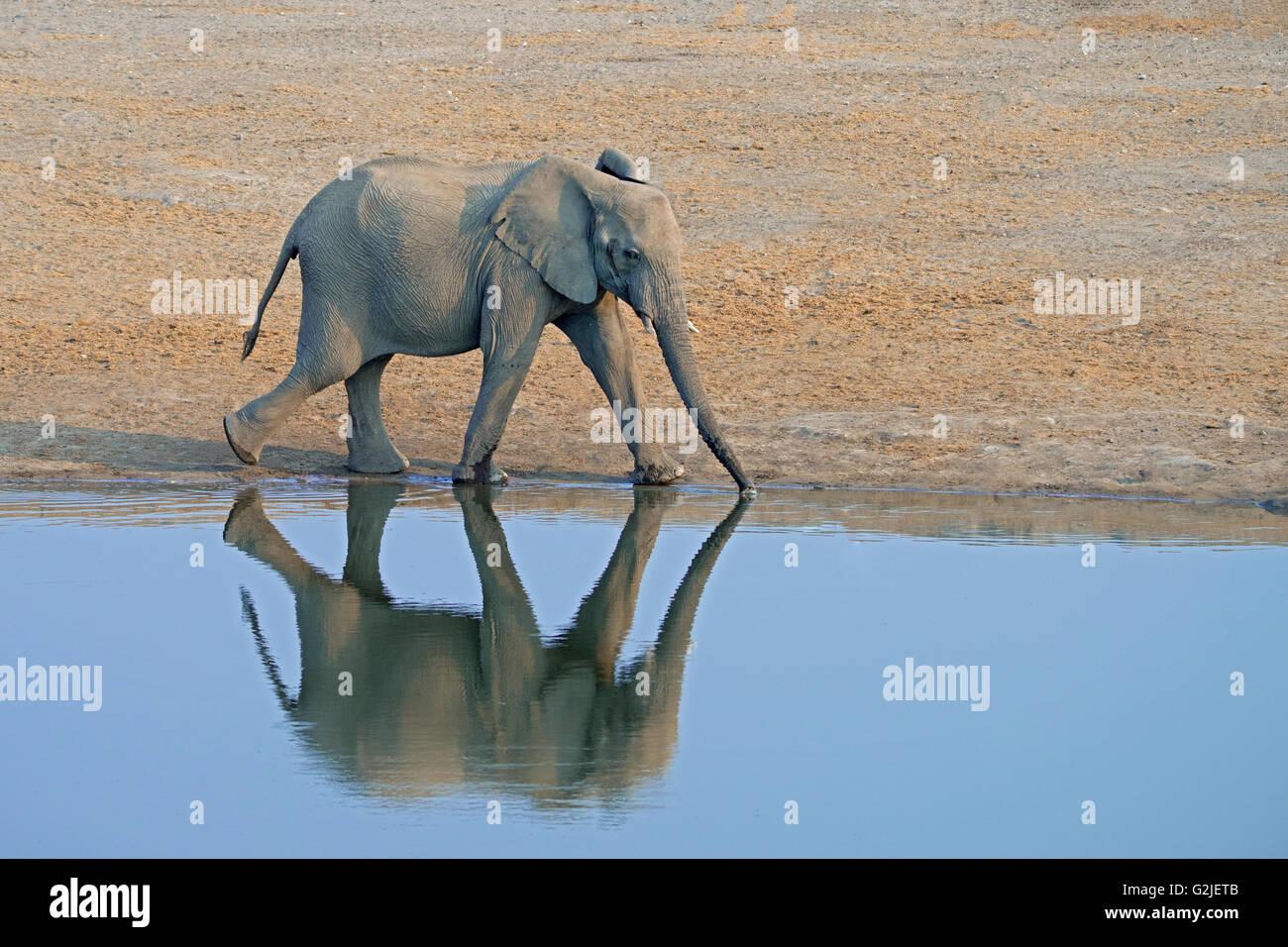 Elefante africano (Loxodonta africana) famiglia proveniente da un waterhole a bere, il Parco Nazionale di Etosha, Immagini Stock