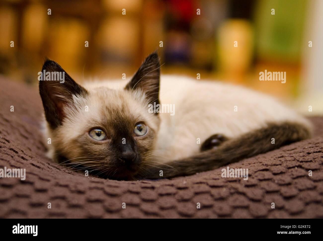 Siamese gattino riposa serenamente in una casa in Enderby, British Columbia, Canada Immagini Stock