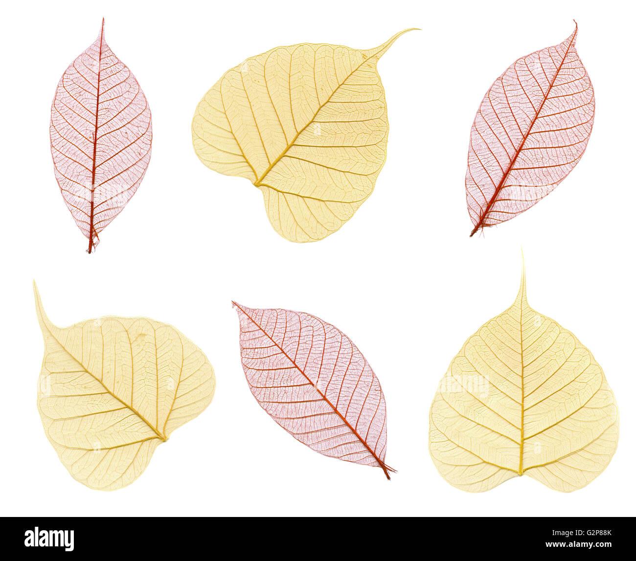 Sei scheletri di foglie di autunno in marrone e beige isolato su bianco Immagini Stock