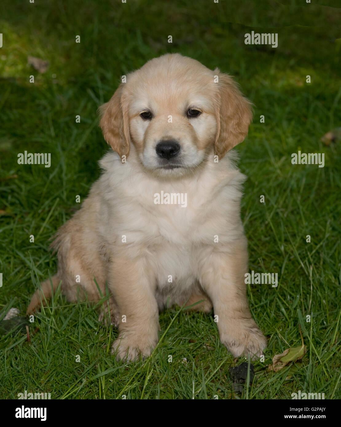 Golden Retriever,,cucciolo,fluffiness,morbidezza,l'erba,giardino Immagini Stock
