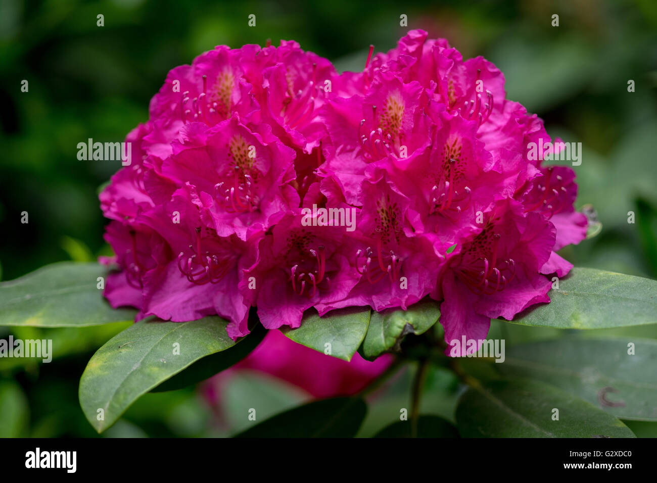 Rosa viola lussureggianti rododendri 'Germania' blossom Immagini Stock