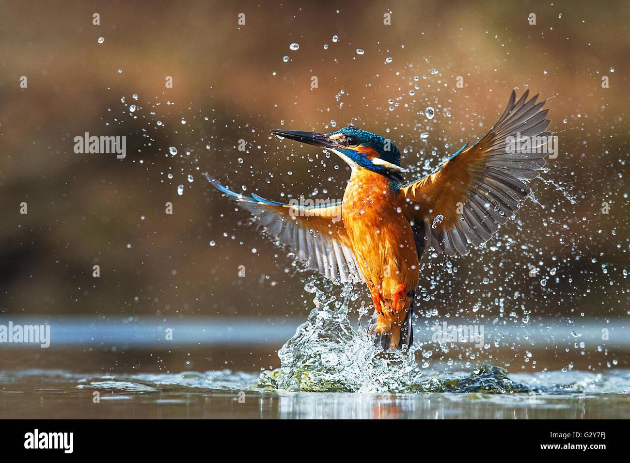Kingfisher emergenti dall'acqua Immagini Stock