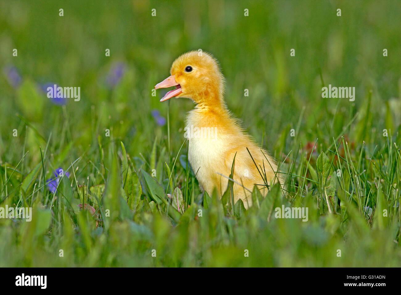Anatroccolo pochi giorni, passeggiate in erba con fiori di colore blu Immagini Stock