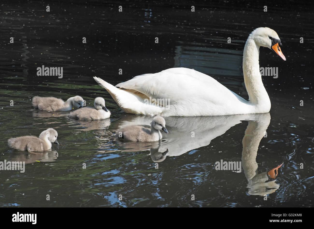 Una vista di una madre swan nuoto con il suo bambino cygnets accanto a Immagini Stock