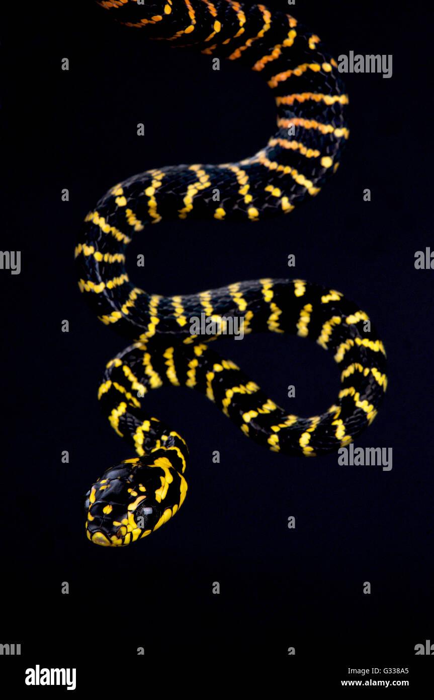 Sulawesi oro inanellato snake (Boiga dendrophila gemmicincta) Immagini Stock