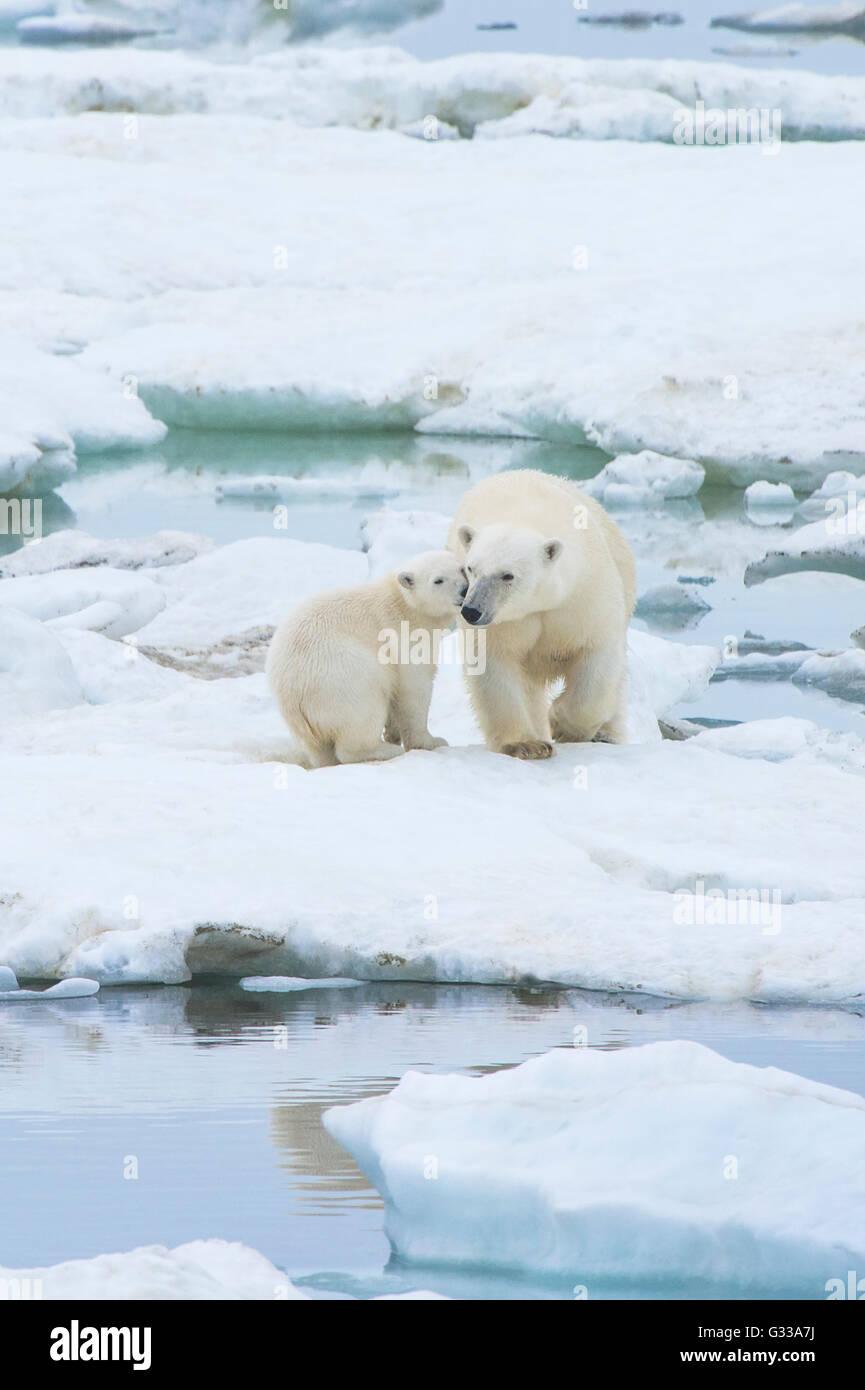 Madre di orso polare con uno cub (Ursus maritimus), Wrangel Island, Chuckchi Mare, Chukotka, Estremo Oriente Russo Immagini Stock
