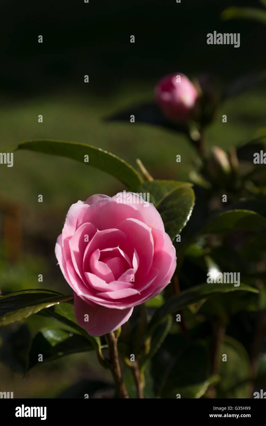La Camellia sinensis rosa tea bush fioritura Immagini Stock