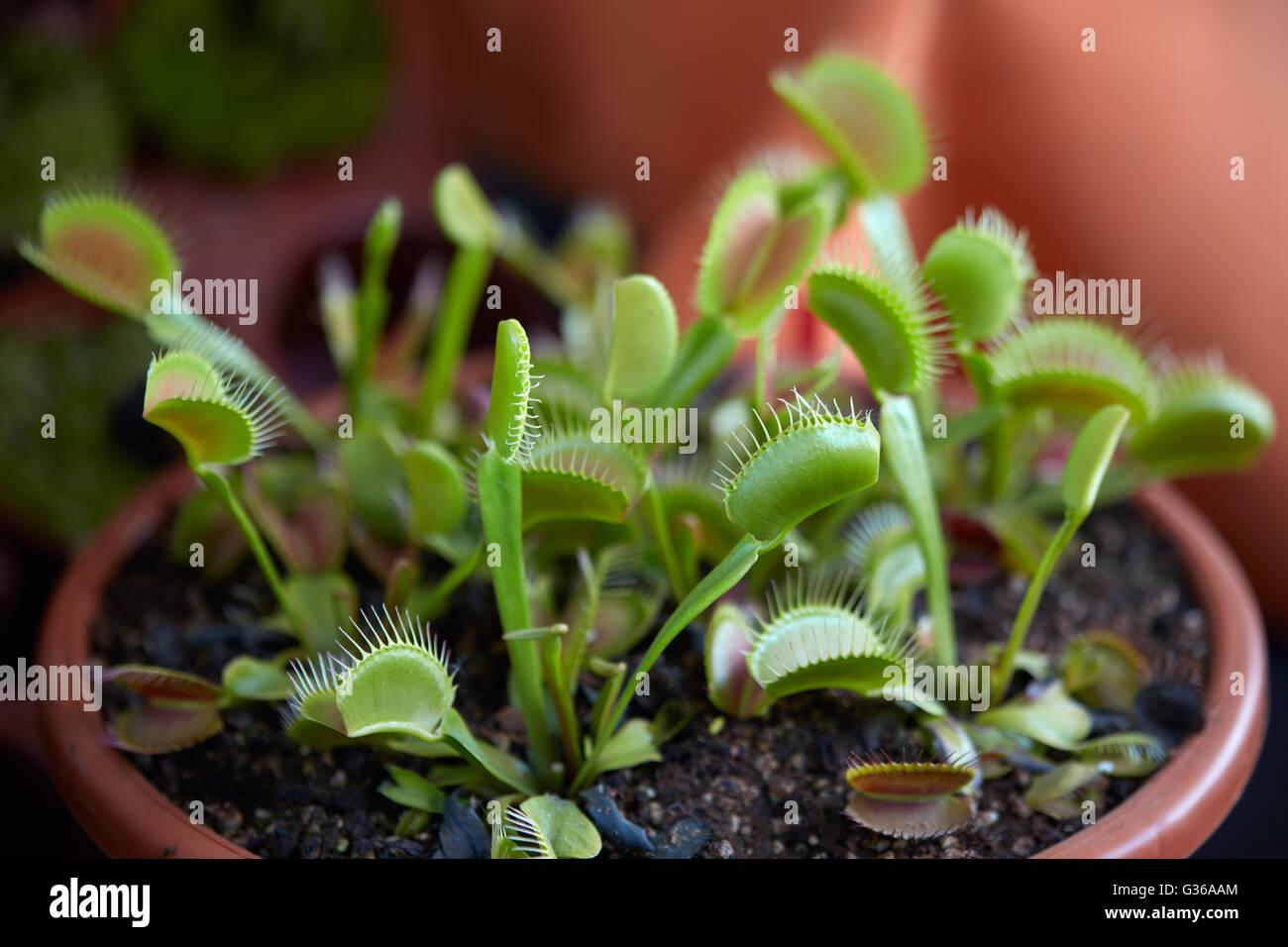 Venus flytrap, pianta carnivora dionaea in pot Immagini Stock