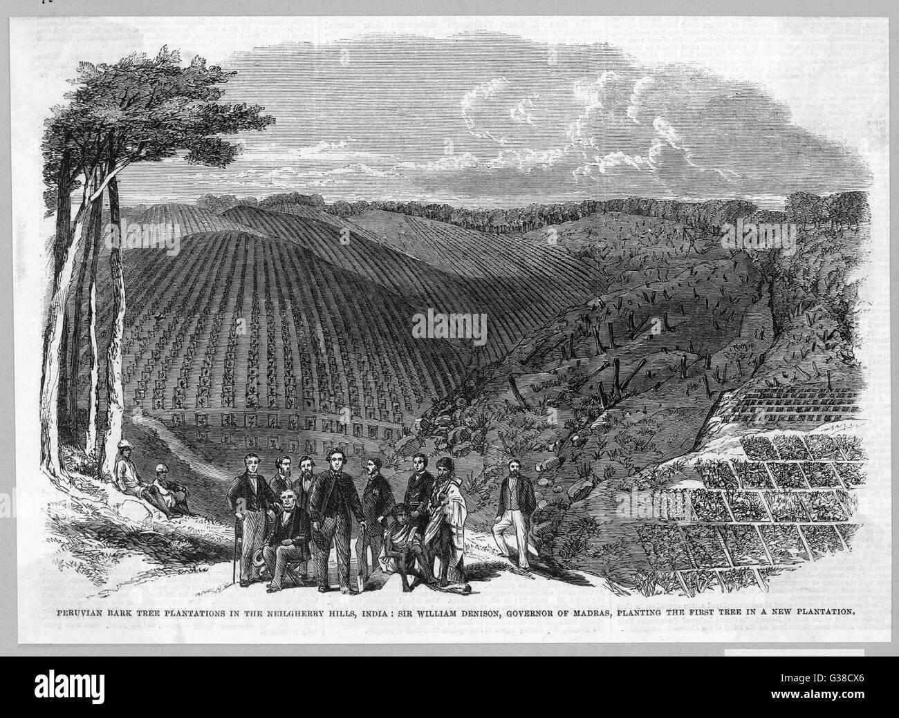Una piantagione di china - peruviani o dei Gesuiti - corteccia in Nilgiri Hills, Stato federato di Tamil Nadu, India Immagini Stock