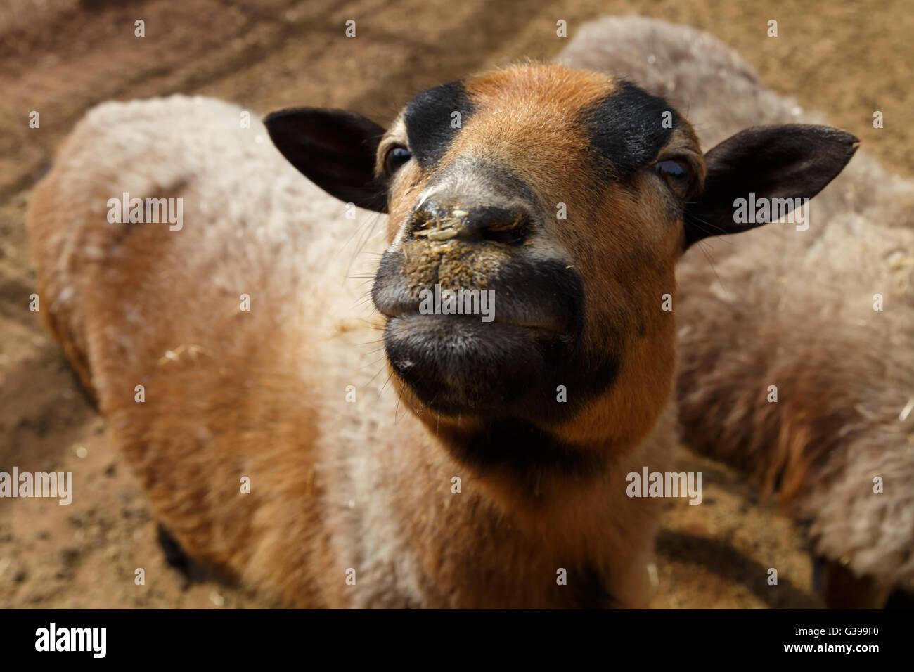 Vicino la vista dettagliata di pecore vive in uno zoo. Immagini Stock