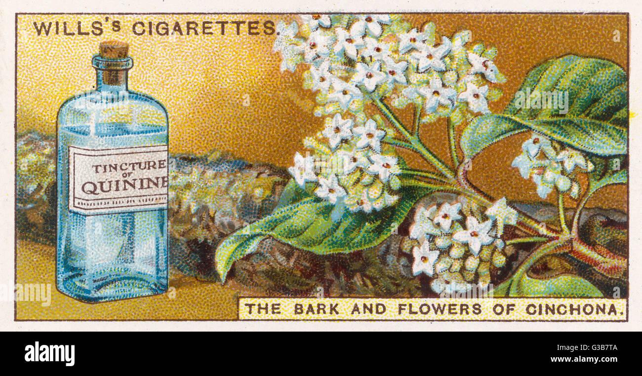 La chinina (China): un inestimabile medicina in paesi tropicali; eccellente a ridurre le febbri e utilizzato per Immagini Stock