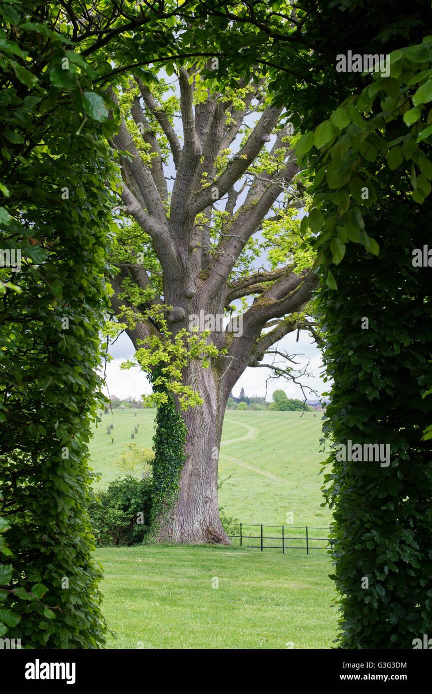 Quercus. Guardando attraverso una siepe di faggio mangiato una quercia in primavera. Oxfordshire, Inghilterra Immagini Stock