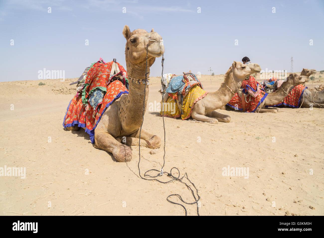 Udienza cammelli nel deserto di Thar Immagini Stock