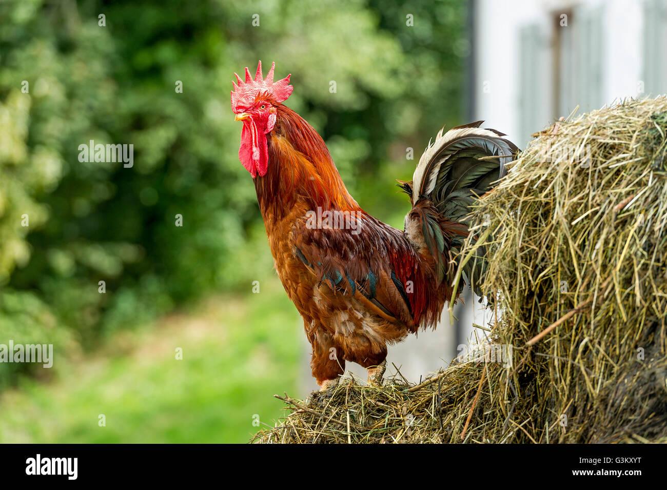 Carne di pollo (Gallus gallus domesticus), gallo sul mucchio di letame, Alta Baviera, Baviera, Germania Foto Stock