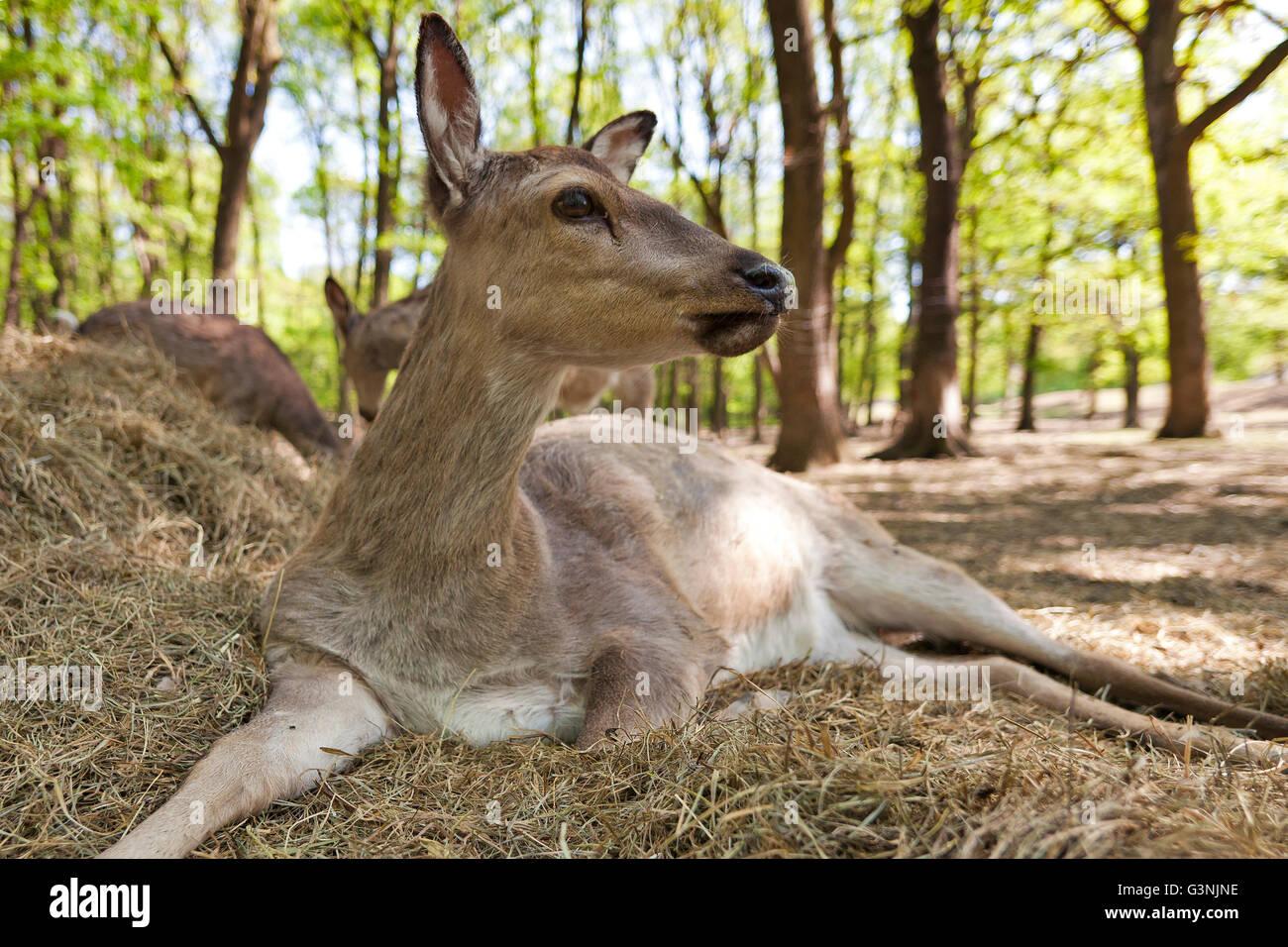 Cervi Sika o giapponese cervo (Cervus nippon), Hind, Ernstbrunn zoo, Austria Inferiore, Austria, Europa Immagini Stock