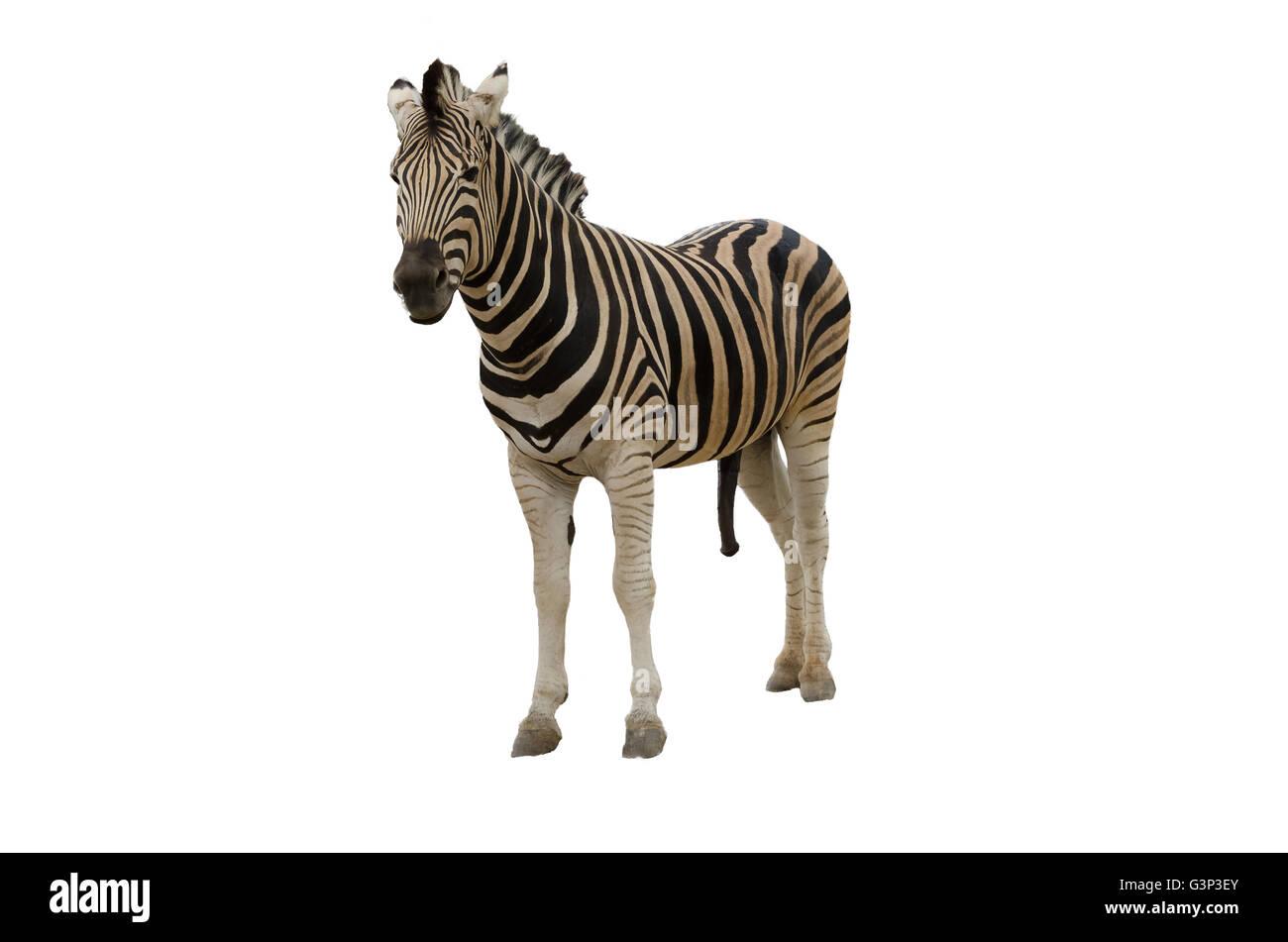Pianure africane zebra sull'asciutto savana marrone praterie di esplorazione e di pascolo. Immagini Stock