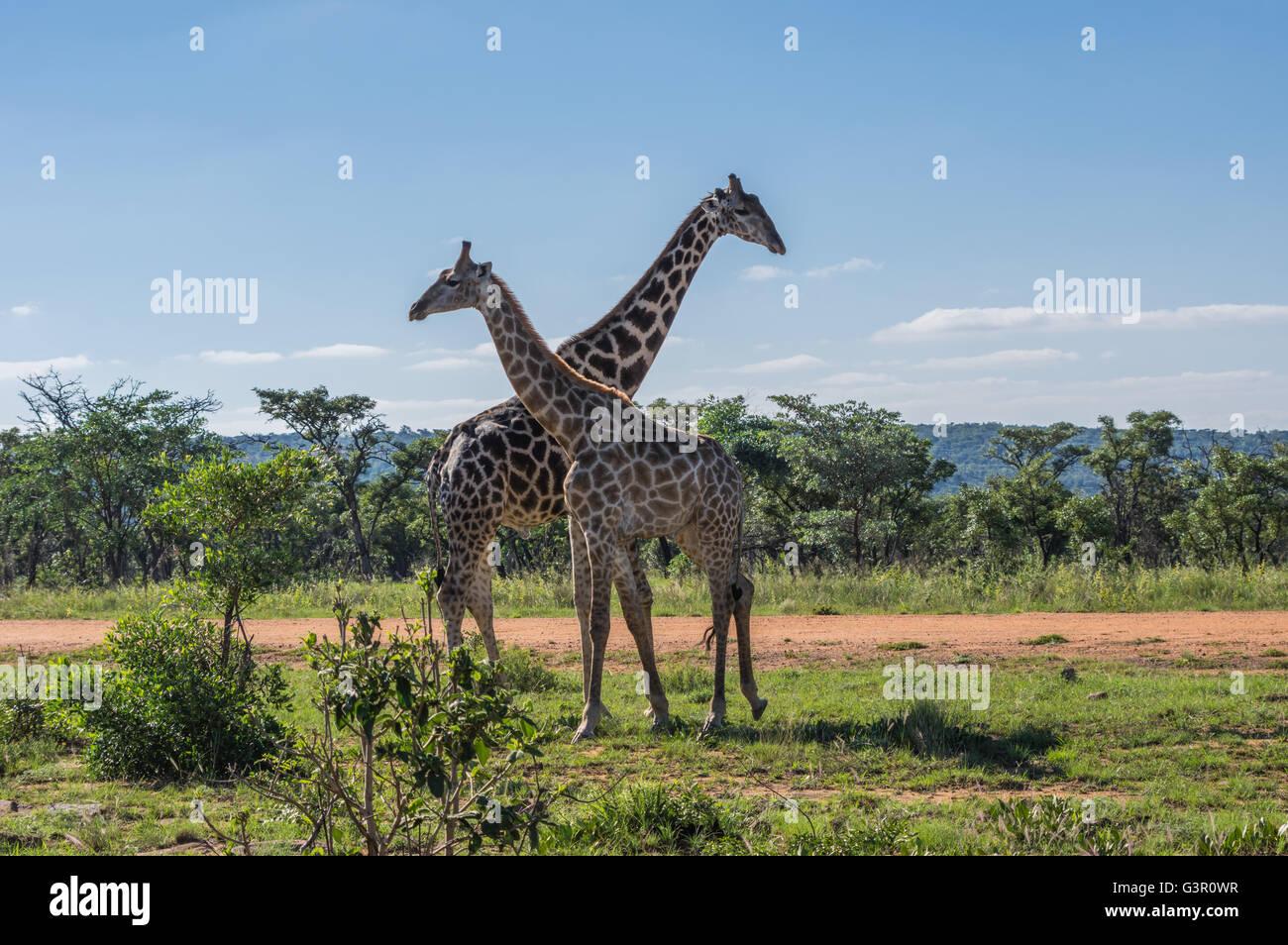 La giraffa insegnare la sua prole di lotta in Welgevonden Game Reserve in Sud Africa Immagini Stock