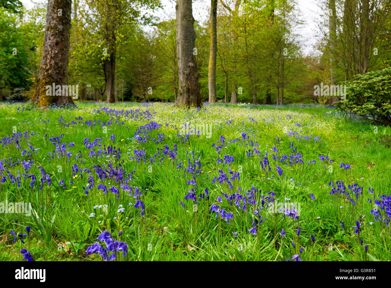 Bluebells (Hyacinthoides non scripta) in un bosco a piani Castello, a Kelso, Scottish Borders, Scotland, Regno Unito Immagini Stock