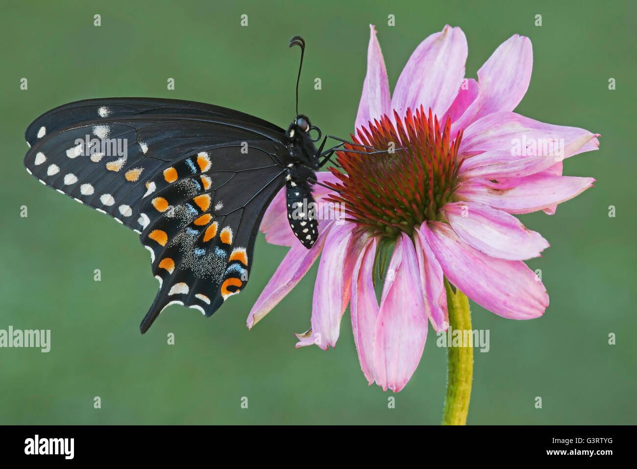 E Nero a farfalla a coda di rondine femmina adulta (Papilio polyxenes) alimentazione su Purple Coneflower (Echinacea purpurea) E STATI UNITI D'AMERICA Foto Stock