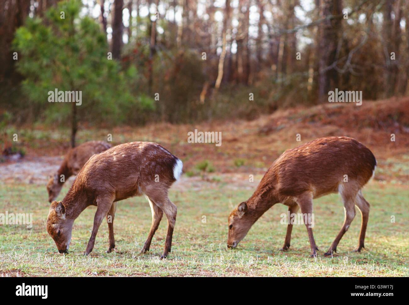 Sika cervo (Cervus Nippon); Chincoteague National Wildlife Refuge, Assateague Island, Virginia, Stati Uniti d'America Immagini Stock