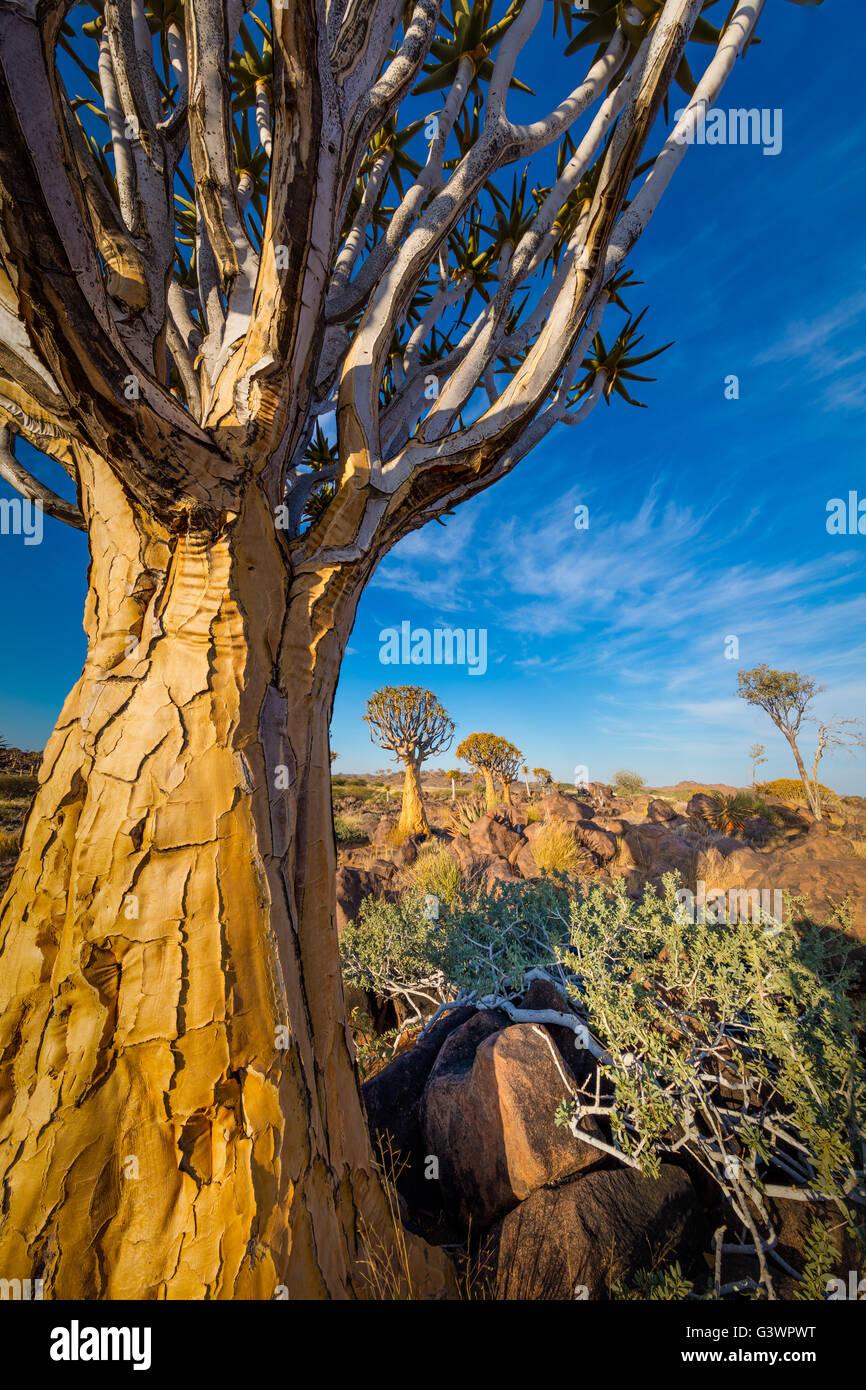 La faretra Tree Forest (Kocurboom Woud in afrikaans) è una foresta e di attrazione turistica del sud della Immagini Stock
