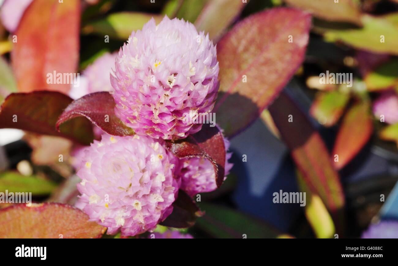 Rosa Gomphrena Globosa globe fiori amaranto Immagini Stock