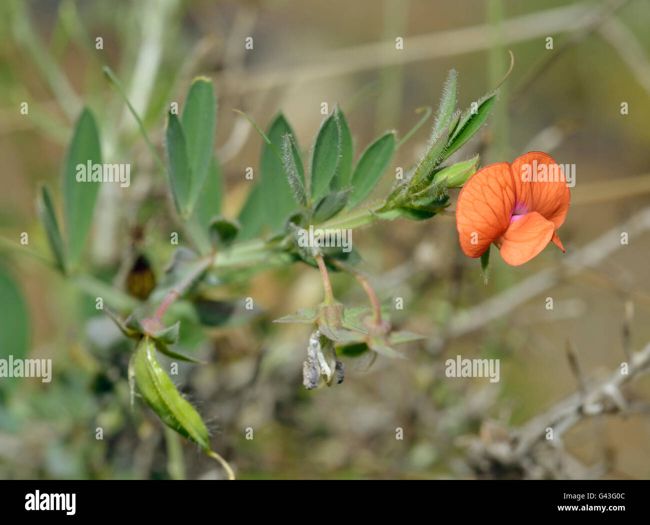 Ciliato Vetchling - Lathyrus blepharicarpus arancione fiore di pisello da Cipro Immagini Stock