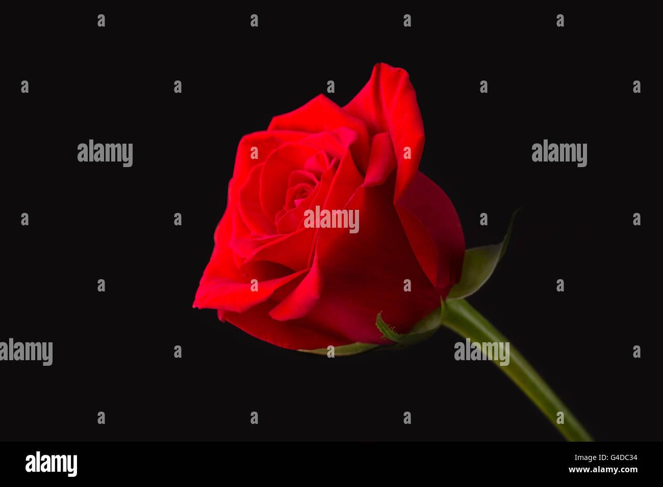 Vista Laterale Di Una Rosa Rossa Con Gambo Verde Su Sfondo Nero Foto