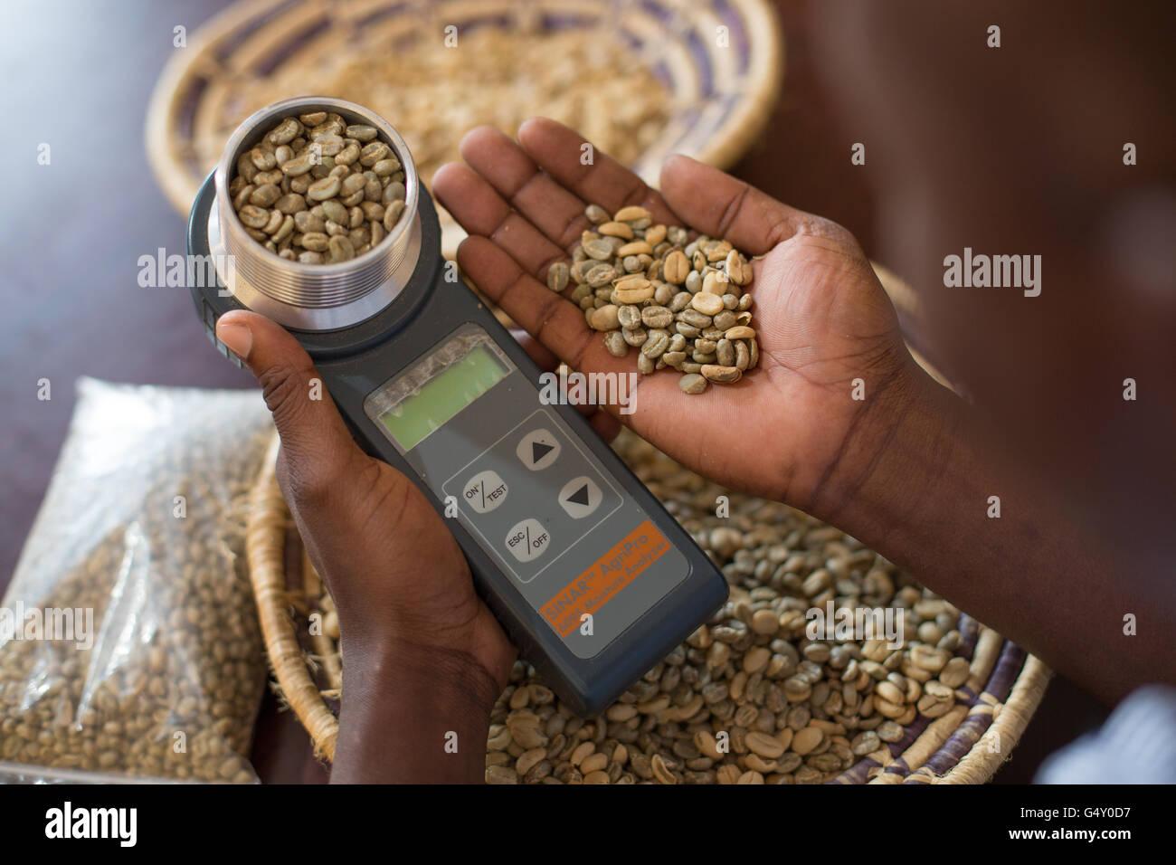 Un campione di caffè viene misurata con un contenuto di umidità misuratore a un produttore di caffè Immagini Stock