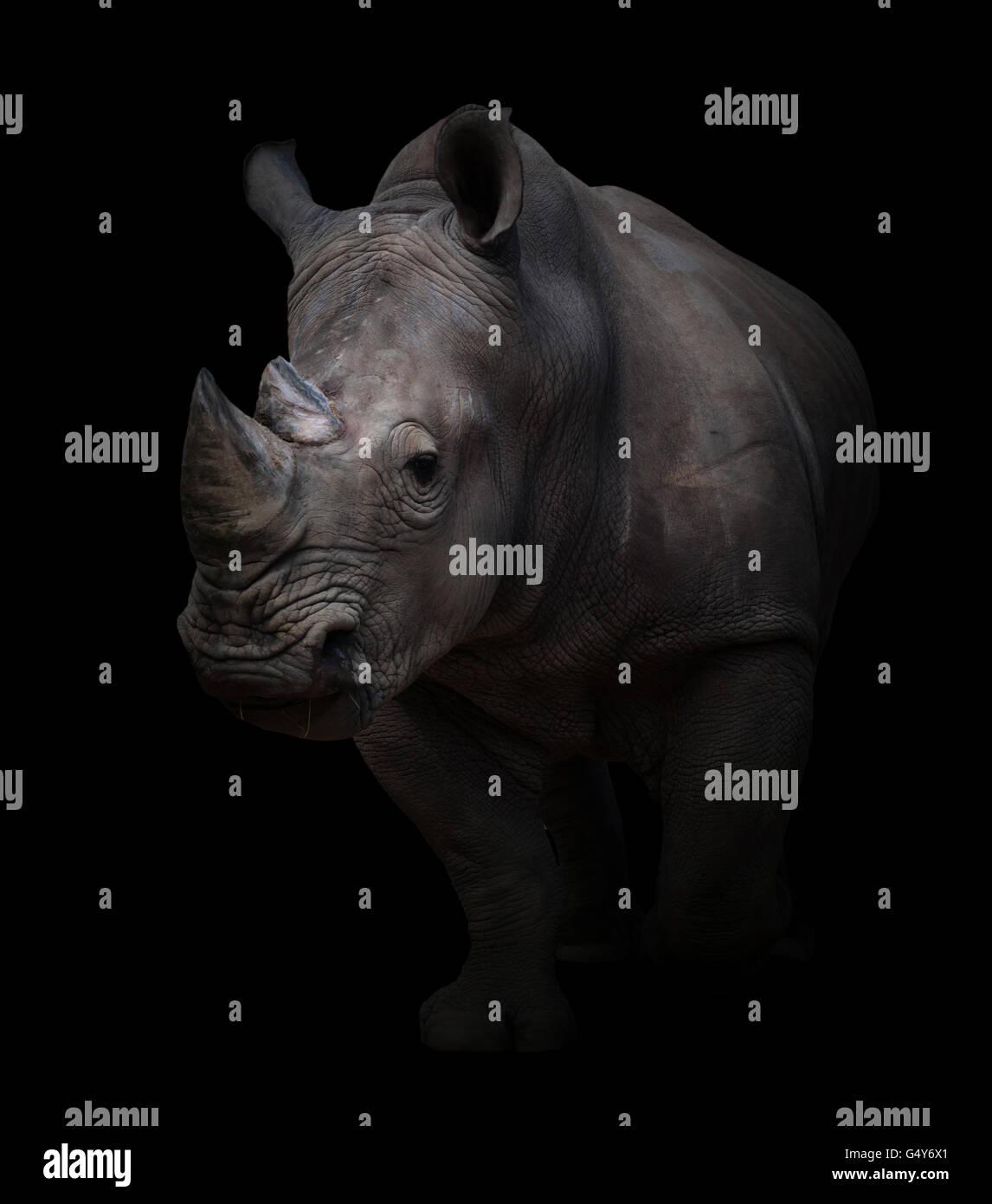 Rinoceronte bianco, quadrato-rhinoceros a labbro in uno sfondo scuro Immagini Stock