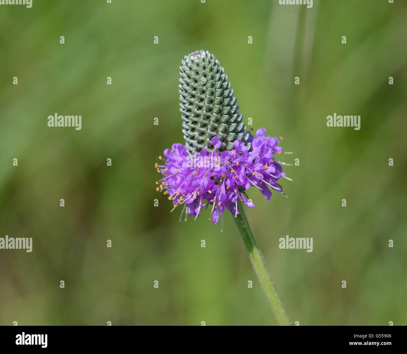 Viola prairie clover Foto Stock