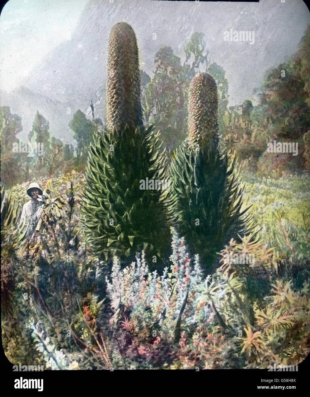 Ein Tropenforscher in elemento seinem mit einer Staudenpflanze. India, Asia Travel, giungla, storia, storico archivio, Immagini Stock