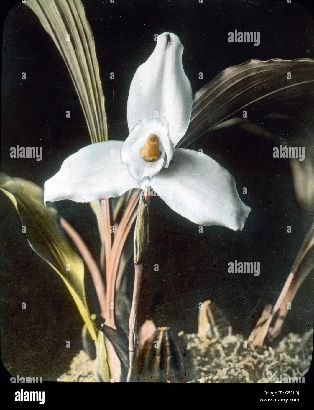 Eine Orchideenart, mit reizendem Farbenspiel. India, Asia Travel, botanica, orchidea, fiore, blossom, storia, storico Foto Stock