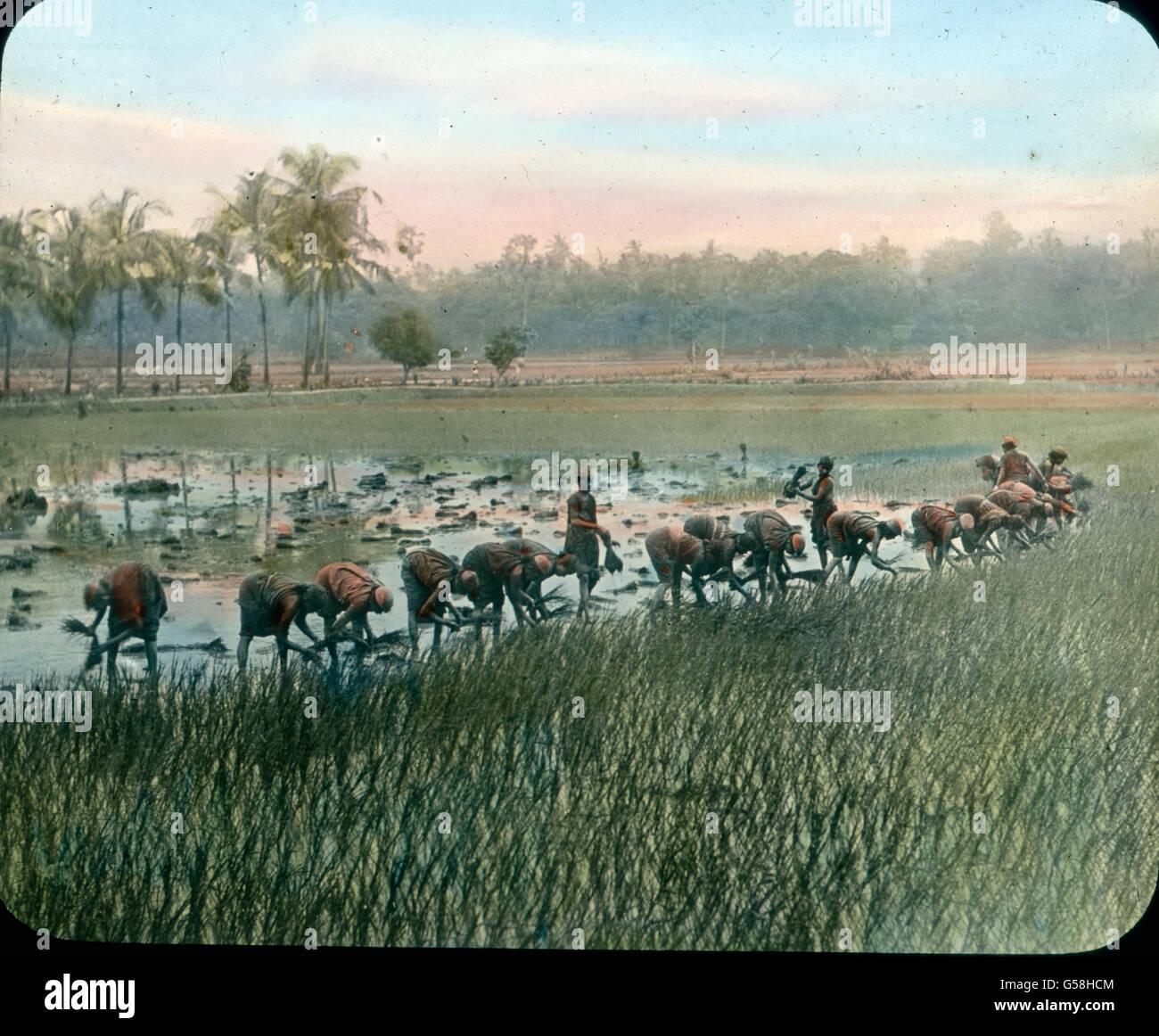Bauern pflanzen Reis als Ernährungsgrundlage un. India, Asia Travel, agricoltore, riso, cibo, sementi, 1910s, Immagini Stock