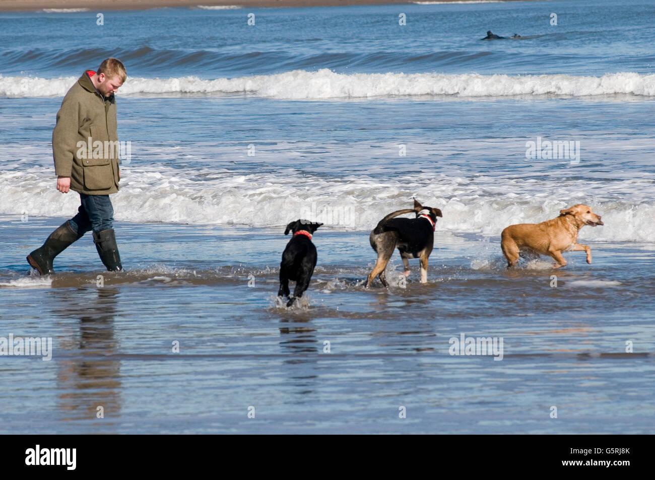 Uomo che cammina cani sulla spiaggia spiagge cane a camminare walkies mare surf eseguire in esecuzione nel Regno Unito Foto Stock
